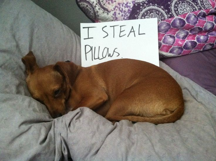 """I steal pillows."" ~ Dog Shaming shame - Dauschound"