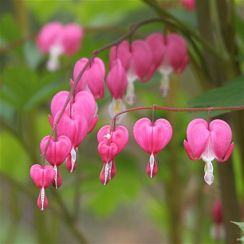 Image result for pink bleeding hearts