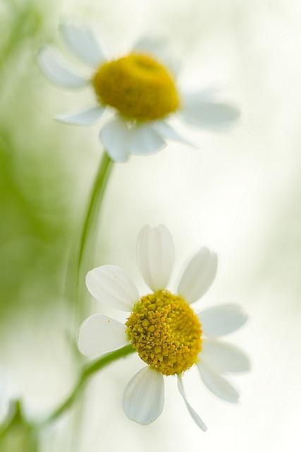 Daisies... by sarsmis on flickr