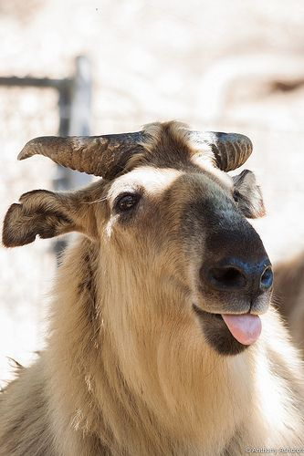 Sticking that tongue out! #silly #animals