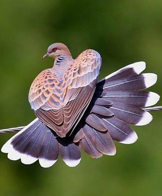 Dove's heart wings