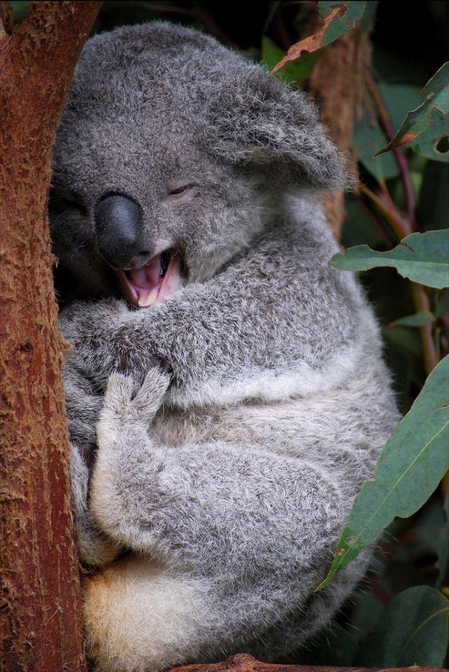 Good morning koala  <3 It's so fluffy, I'm gonna die!!