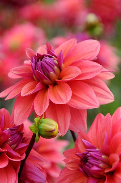 Dahlia 'American Dawn'  Nice color!  Grow as an annual OR dig up the tubers at the end of the season and store in the cellar for the winter