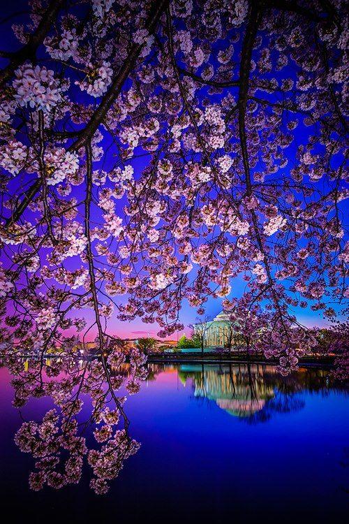 ✯ Sakura, Japan Cherry Blossoms