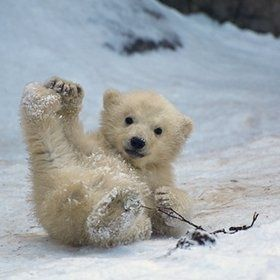 Would you not like to be able to do what this little one is doing, being soooo playful and no cares in the world because momma polar bear is close by.
