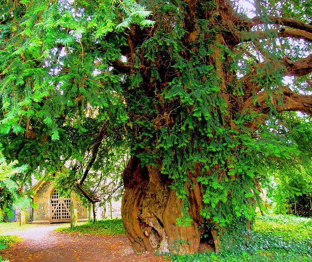 Ancient Yew Tree..... would like this tree in my garden...