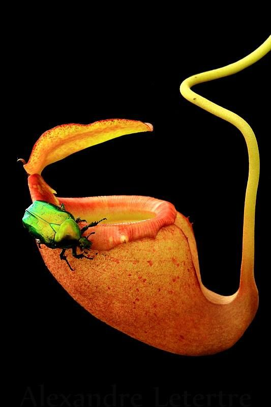 Nepenthes Flava (Carnivorous plant)