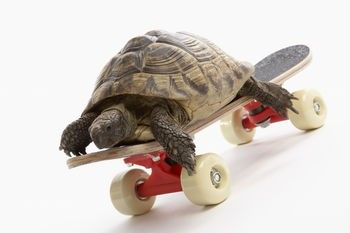 pets  | ... turtle as a pet the common sub species which are kept as pets are box