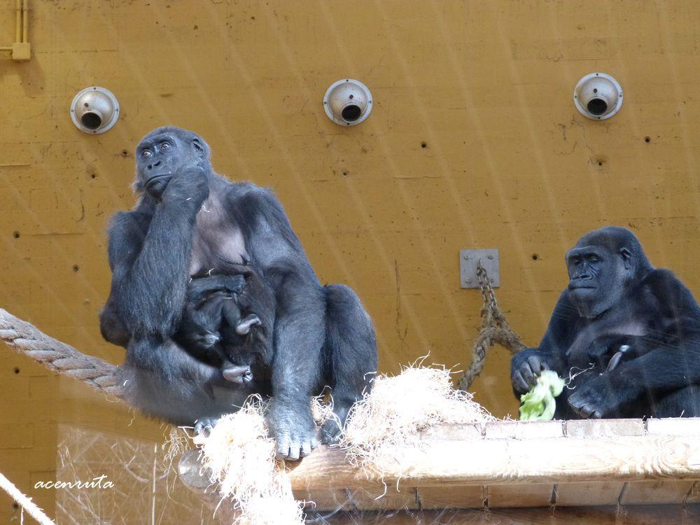 Mamás gorilas y sus crías