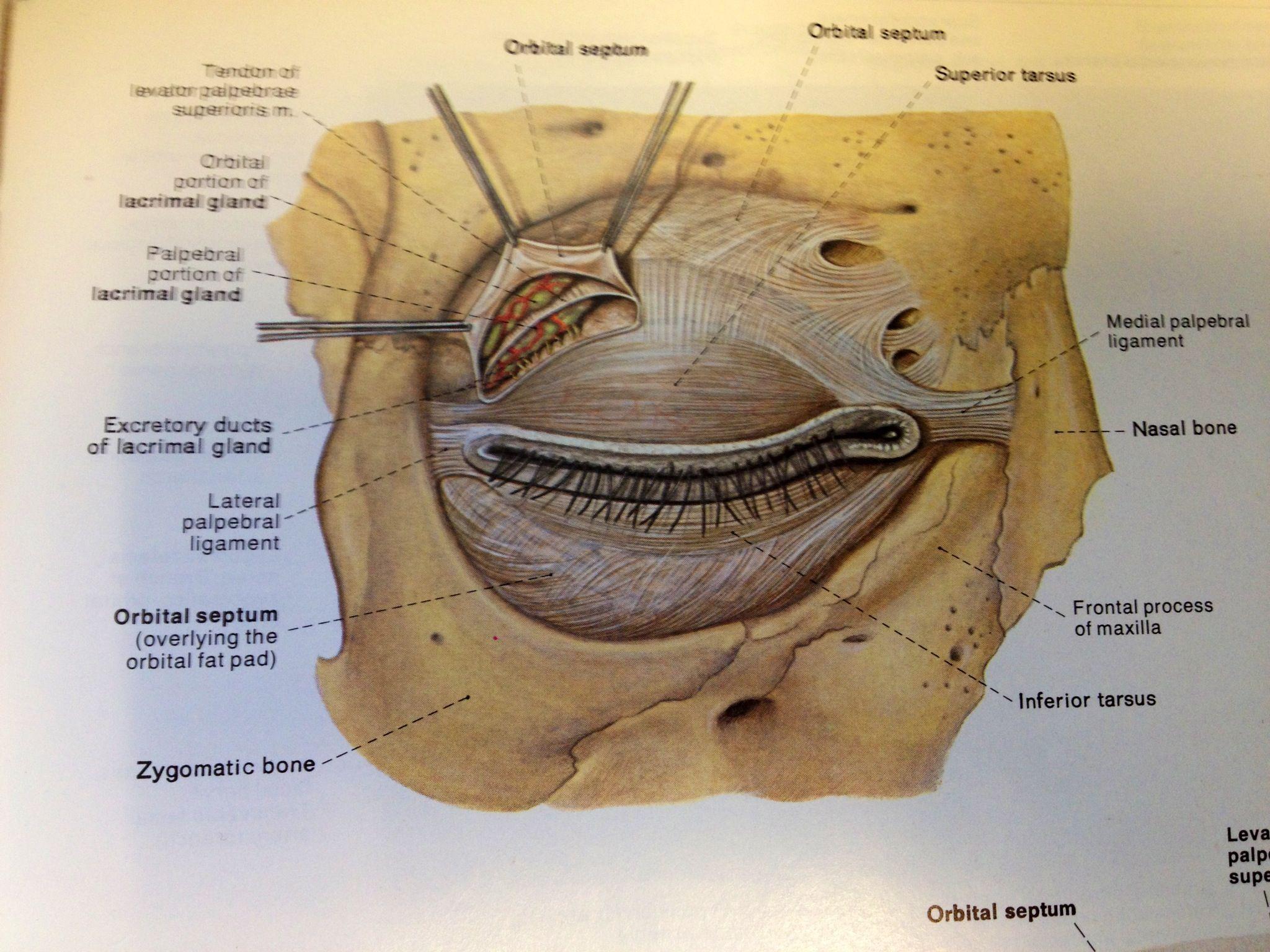 Image Eye Anatomy Orbital Septum