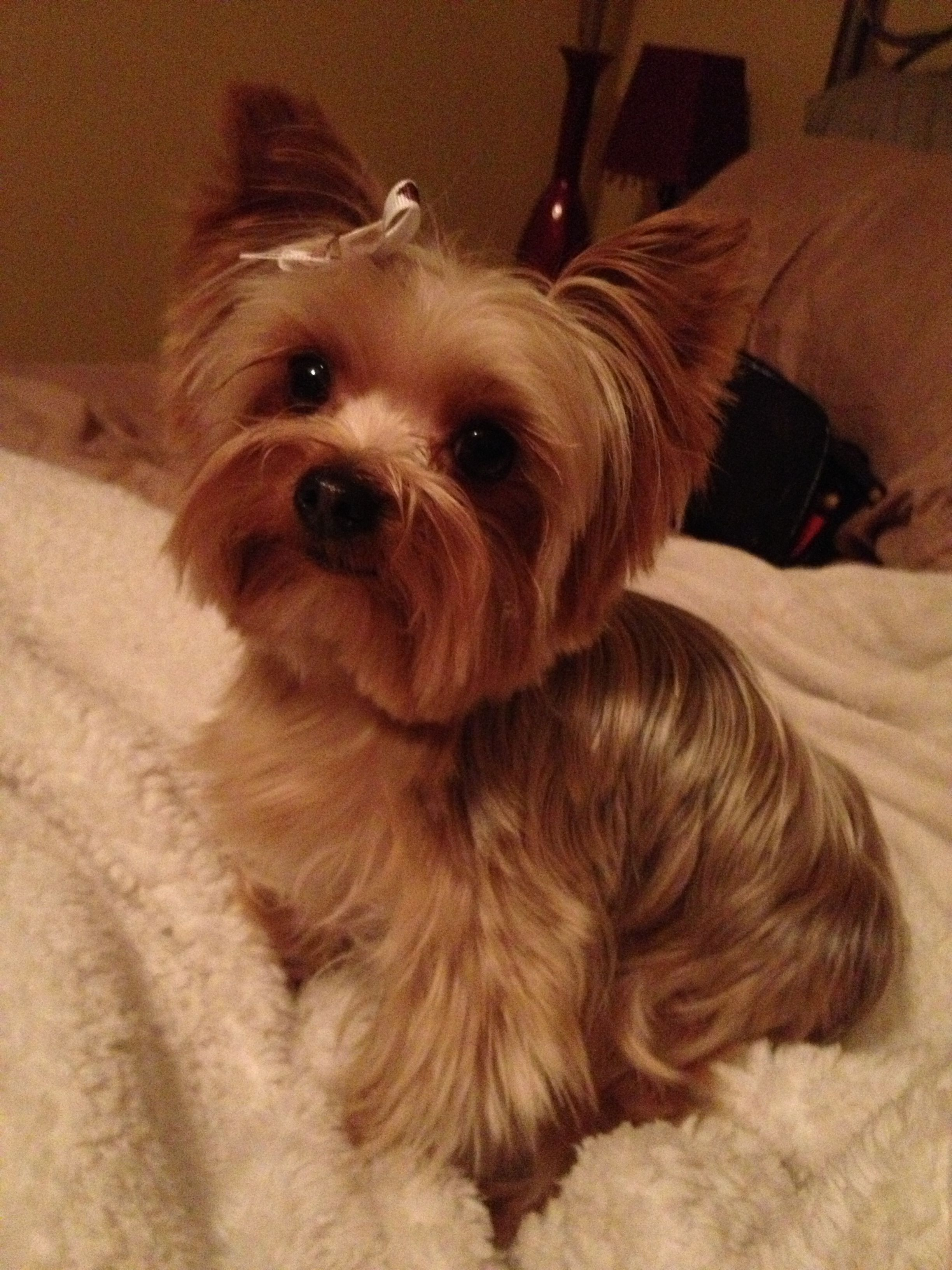 Yorkshire Terrier Short Hair Cuts