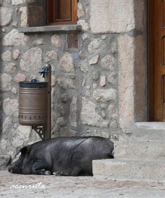 El cerdo de San Antón