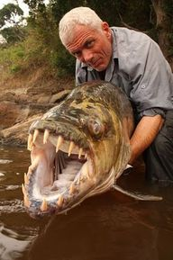 Goliath Tigerfish - Locals in the Congo say it's the only fish that doesn't fear crocodiles, and will even devour some of the smaller ones!  32 teeth the size of a Great White Shark's, incredible eyesight in murky water and they can sense low-frequency vibrations emitted by prey...making this one dangerous predator.   It's been observed going after 60 pound catfish and literally slicing them in half...