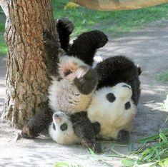 Panda bear's wrestling- pretty rough..hard landing..poor little one ;(