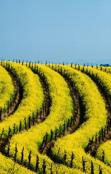 Yellow mustard in the vineyards in Spring, Napa Valley.  Photo: Lonely Planet Images, Jerry Alexander