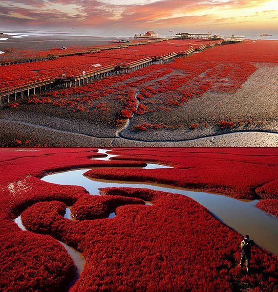 Panjin Red Beach in provincia di Liaoning, Cina