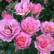 Proven Winners Oso Easy® Roses | Oso Happy Petit Pink