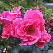 Proven Winners Oso Easy® Roses | Oso Easy® Pink Cupcake