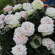 Best Roses of 2015   'Moonstone'