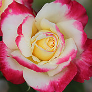 Best Roses of 2015   'Double Delight'