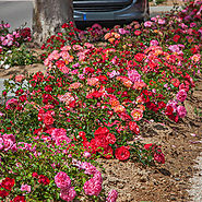 Drift Roses by Star Roses and Plants | Meilland Roses International