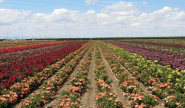 Weeks Roses | Wholesale Rose Grower