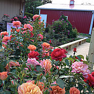 Roses Fall Into Winter | Inventory your garden rate your rose bushes: keepers, maybe, replace.