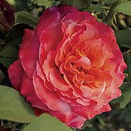 Surreal™ Floribunda Rose