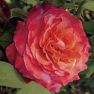 Surreal™ Floribunda Rose