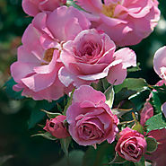 The Ten Best Roses To Order For Mom | Kimberlina Floribunda Rose