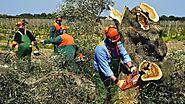 La plaga vegetal más peligrosa de Europa invade las Baleares