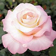 Crescendo® Hybrid Tea Rose