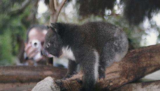 Un baby koala nell'Isola dei Canguri, Australia