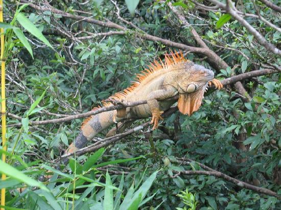 Costa Rica: Iguana -