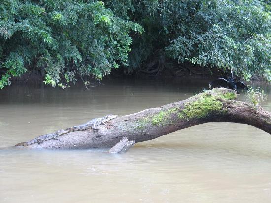 Costa Rica: Cayman alligators