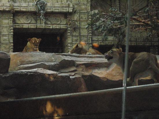 Lion Habitat inside the MGM Grand Hotel and Casino in Las Vegas