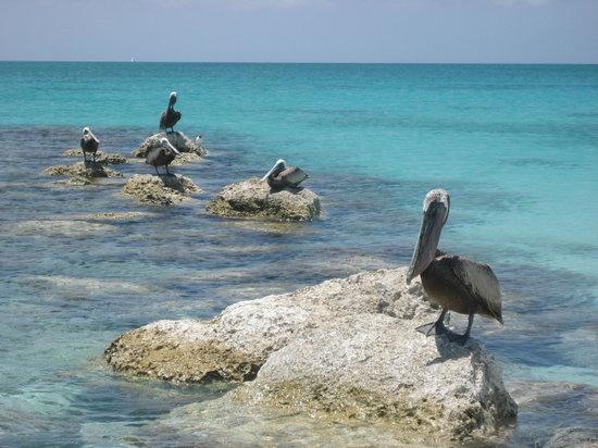 Providenciales: Pelicans nearby