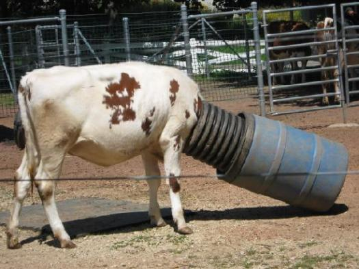 Cow trying to lick the bottom of a barrel