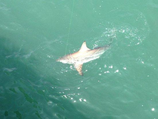 Shark Fishing Myrtle Beach Pier