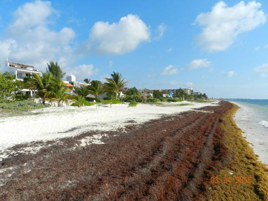 Seaweed On Beach Picture Of Excellence Riviera Cancun
