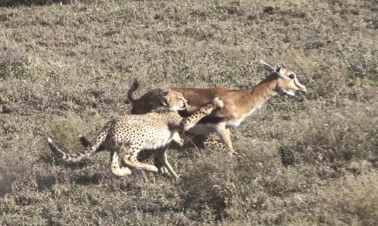 People Getting Chased Cheetahs