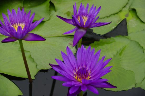 Some lotus flowers    Picture of Blue Lotus Water Garden  Yarra     Blue Lotus Water Garden  Some lotus flowers