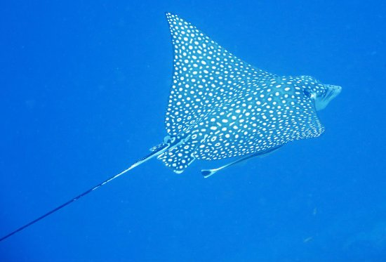 Bonaire East Coast Diving Spotted Eagle Ray With East Coast Diving