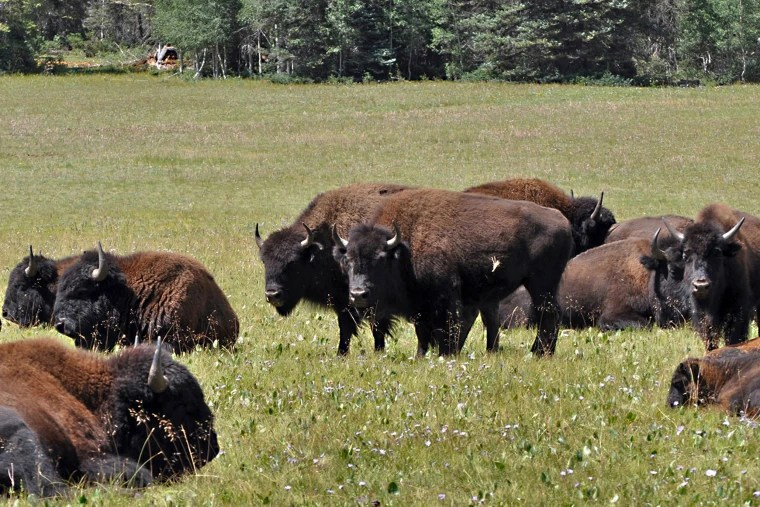 Chance to shoot bison at Grand Canyon draws 45,000 applicants