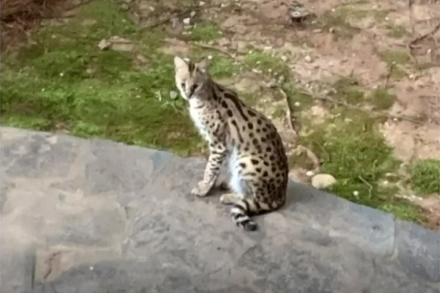 Image: The exotic cat that woke up Kristine Frank in Brookhaven, Ga.