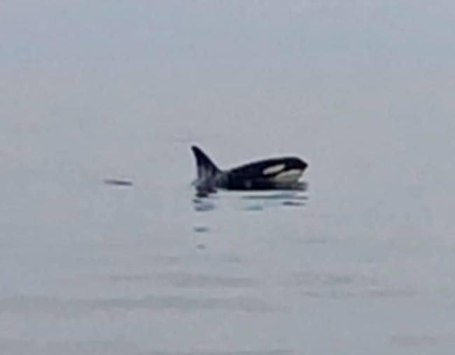 Orca/killer whale spotted by Playin' Hookey Charters.