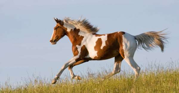 realistic horse breeds # 66