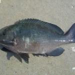 チヌ釣りやメジナ釣りのウキ釣り 釣れない時はどうするの?