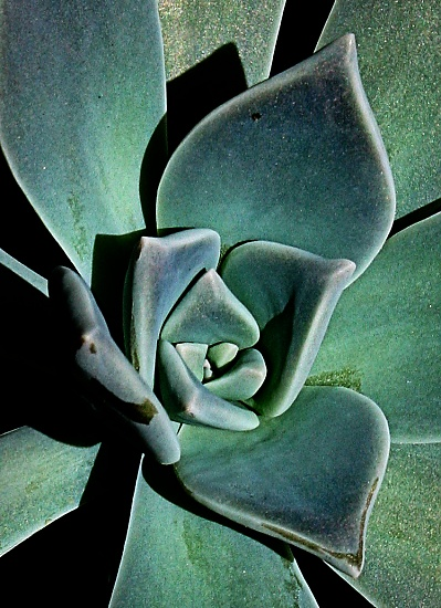 succulent on 365 Project
