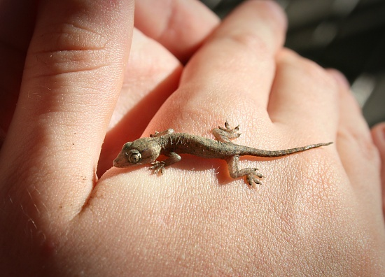 gecko on 365 Project